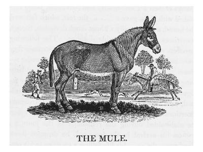 Mule--Giclee Print