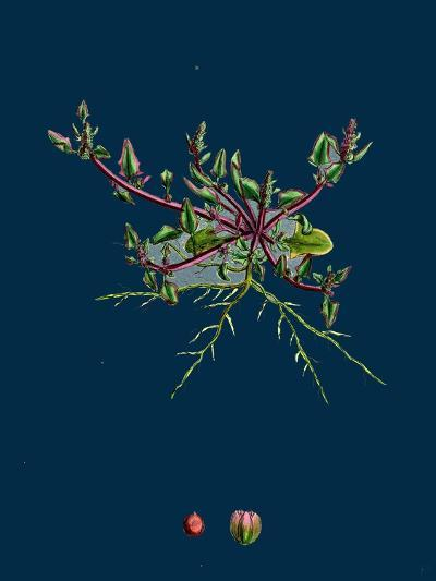 Mulgedium Alpinum; Blue Sow-Thistle--Giclee Print