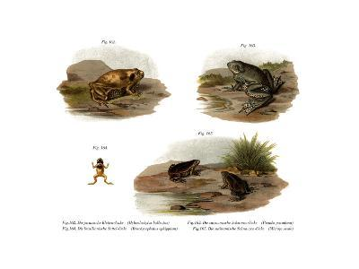 Muller's Narrowmouth Toad--Giclee Print