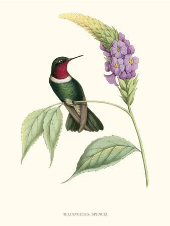 Hummingbird and Bloom II