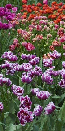 Multi Color Tulip Flowerbeds-Anna Miller-Photographic Print