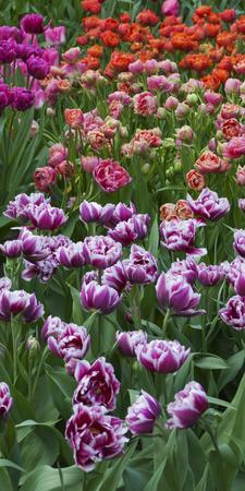 https://imgc.artprintimages.com/img/print/multi-color-tulip-flowerbeds_u-l-q12yuix0.jpg?p=0