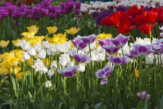 Multicolor Tulip Flowerbeds-Anna Miller-Photographic Print