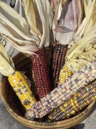 Multicolored Corn, a Native American Staple Crop, in an Indian Basket
