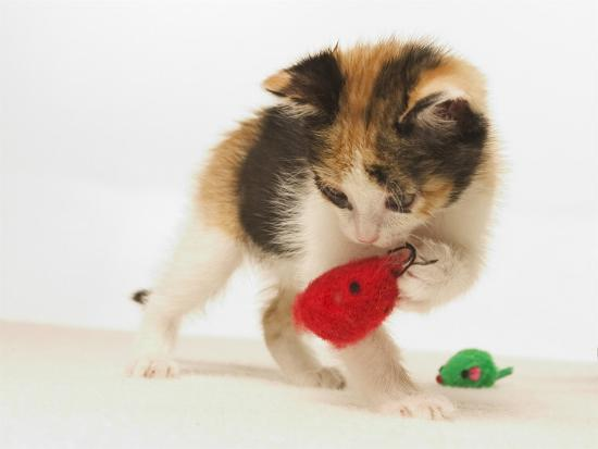 Multicolored Kitten Playing with Toy-Steve Starr-Photographic Print