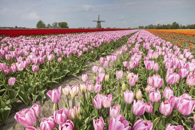 Multicolored Tulip Fields Frame the Windmill in Spring, Netherlands-Roberto Moiola-Photographic Print