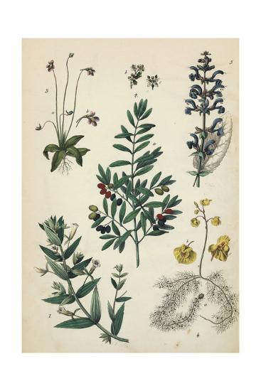 Multiple Plants with Small Flowers and Berries--Art Print