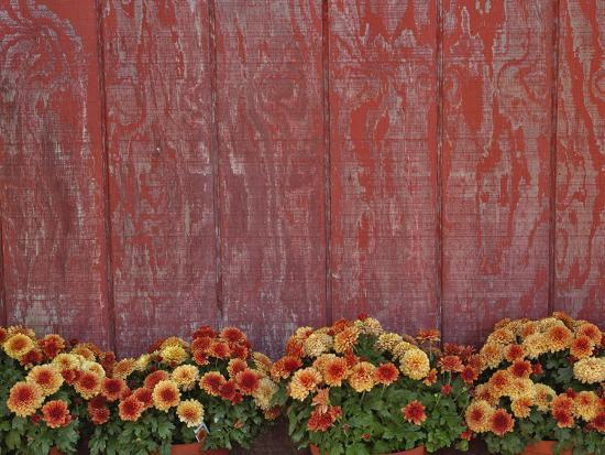 Mums and Red Barn Walll-Adam Jones-Photographic Print
