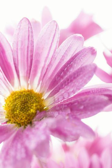 Mums flowers against a white background--Photographic Print