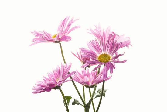 Mums flowers against white background--Photographic Print