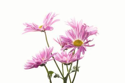 https://imgc.artprintimages.com/img/print/mums-flowers-against-white-background_u-l-q1c0e400.jpg?p=0