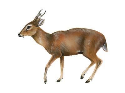 https://imgc.artprintimages.com/img/print/muntjac-muntiacus-mammals_u-l-q135htr0.jpg?p=0