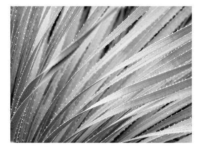 Agave Abstract #3 B+W