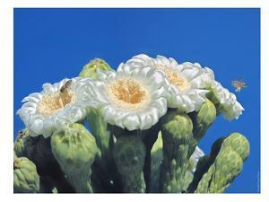 Bees And Saguaro Blossom by Murray Bolesta