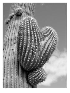 Heart Saguaro B+W by Murray Bolesta