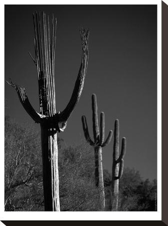 murray-bolesta-spent-saguaro-11