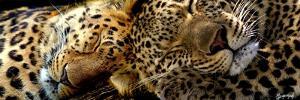 Two Sleepers Cheetahs by Murray Henderson