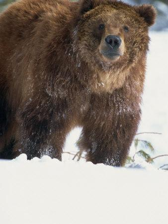 Brown Bear in Snow, North America