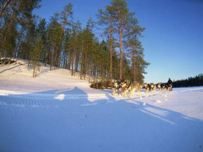 Caveris Husky Safaris, Pure-Bred Siberian Huskies, Karelia, Finland
