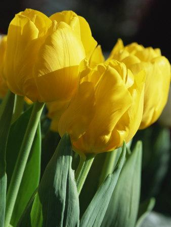 Close-Up of Yellow Tulips at Lisse, Netherlands, Europe