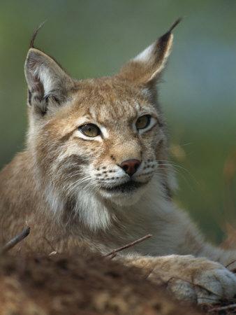 European Lynx, Ranua Wildlife Park, Finland, Scandinavia, Europe