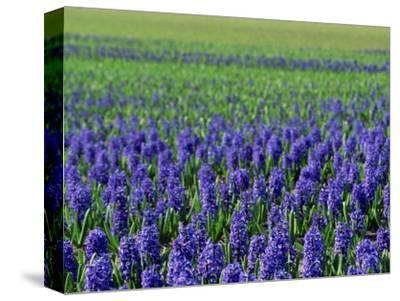 Field of Blue Hyacinths at Lisse in the Netherlands, Europe