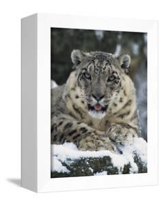 Rare and Endangered Snow Leopard, Port Lympne Zoo, Kent, England, United Kingdom by Murray Louise