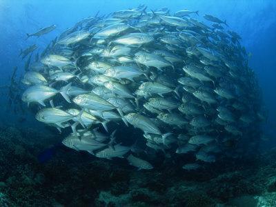 Tightly Balled School of Jack Fish, Sipadan Island, Sabah, Malaysia, Borneo, Southeast Asia
