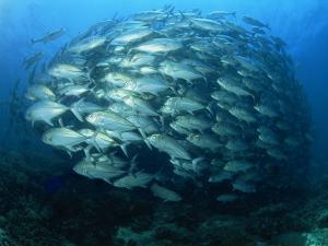 Tightly Balled School of Jack Fish, Sipadan Island, Sabah, Malaysia, Borneo, Southeast Asia by Murray Louise