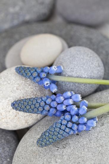 Muscari, Grape Hyacinth, Flowers, Stones, Close-Up-Andrea Haase-Photographic Print