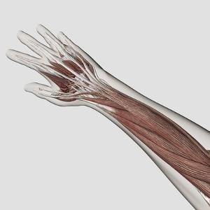 Muscle Anatomy of Human Arm and Hand