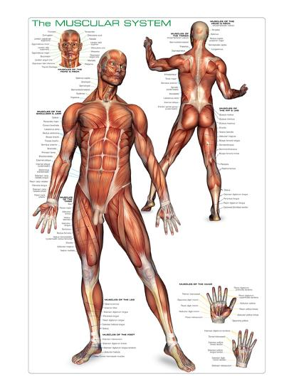 Muscular System--Art Print