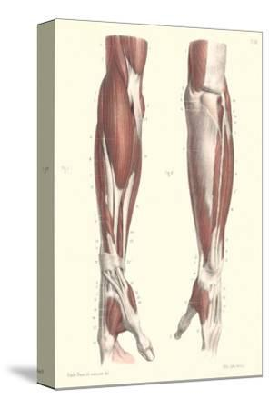 Musculature of the Forearm