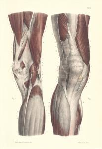Musculature of the Knee Area
