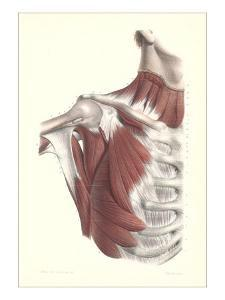 Musculature of the Shoulder Area