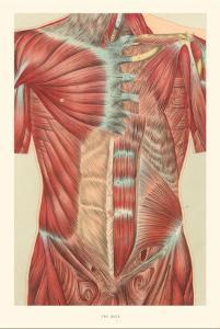 Musculature of the Torso