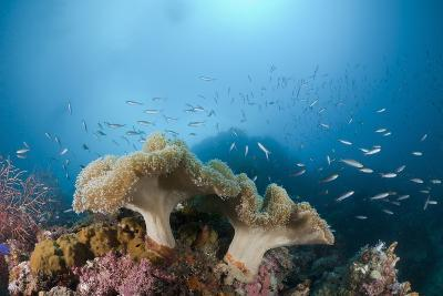 Mushroom Soft Corals (Sarcophyton), Raja Ampat, West Papua, Indonesia-Reinhard Dirscherl-Photographic Print