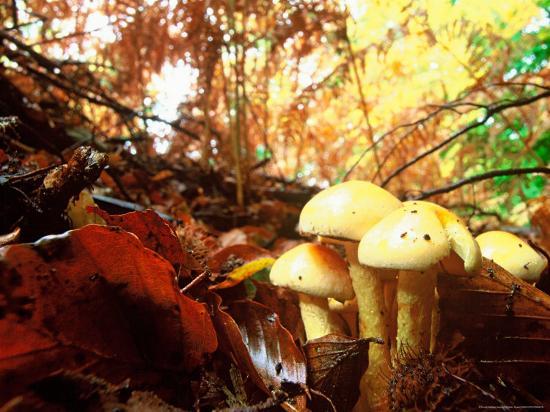 Mushrooms Growing Among Autumn Leaves, Jasmund National Park, Island of Ruegen, Germany-Christian Ziegler-Photographic Print