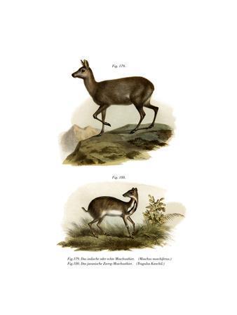 https://imgc.artprintimages.com/img/print/musk-deer-1860_u-l-pvqx4z0.jpg?p=0