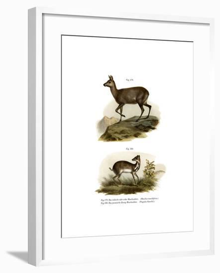 Musk Deer, 1860--Framed Giclee Print