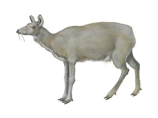 Musk Deer (Moschus Moschiferus), Mammals-Encyclopaedia Britannica-Art Print
