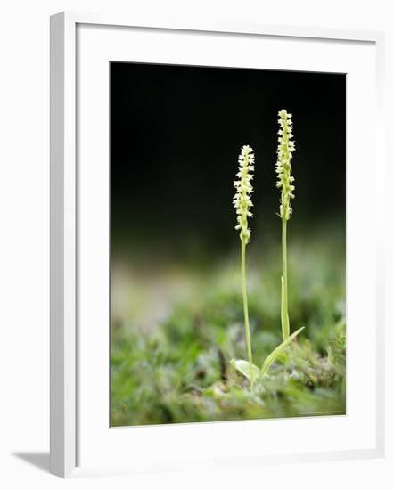 Musk Orchid, Kent, UK-David Clapp-Framed Photographic Print
