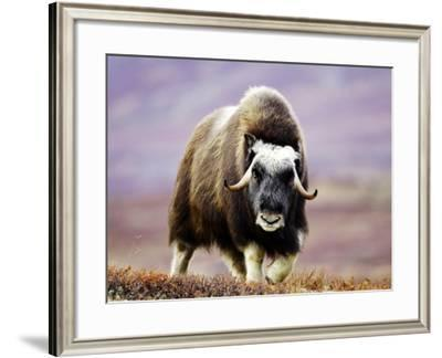 Musk Ox, Adult Female Walking Across Tundra in Autumn, Norway-Mark Hamblin-Framed Photographic Print