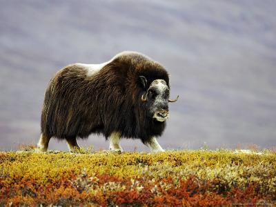 Musk Ox, Adult Female Walking Across Tundra in Autumn, Norway-Mark Hamblin-Photographic Print