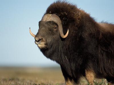 Musk Ox Bull on the North Slope of the Brooks Range, Alaska, USA-Steve Kazlowski-Photographic Print