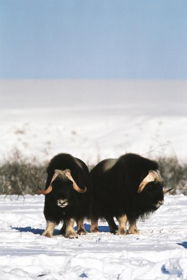 Musk Ox Bull Wildlife, Arctic National Wildlife Refuge, Alaska, USA-Hugh Rose-Photographic Print