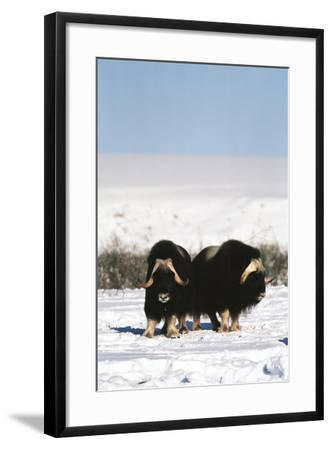 Musk Ox Bull Wildlife, Arctic National Wildlife Refuge ...