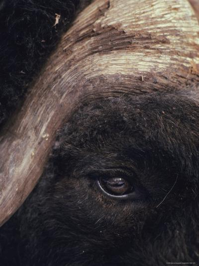 Musk Ox Eye and Horn-George F. Herben-Photographic Print
