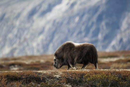 Musk Ox, Ovibos Moschatus, Norway, Dovrefjell, Autumn, Cow-Ronald Wittek-Photographic Print
