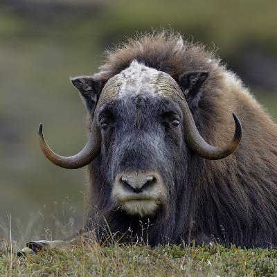 Musk Ox (Ovibos Moschatus) Portrait Whilst Resting, Nome, Alaska, USA, September-Loic Poidevin-Photographic Print
